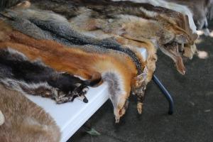 animal-skins-454357_1280