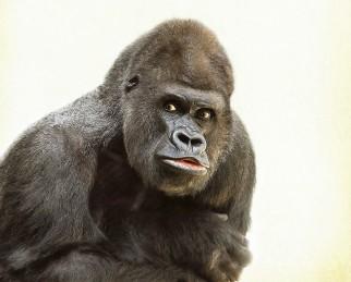 gorilla-448731_1920 (2)