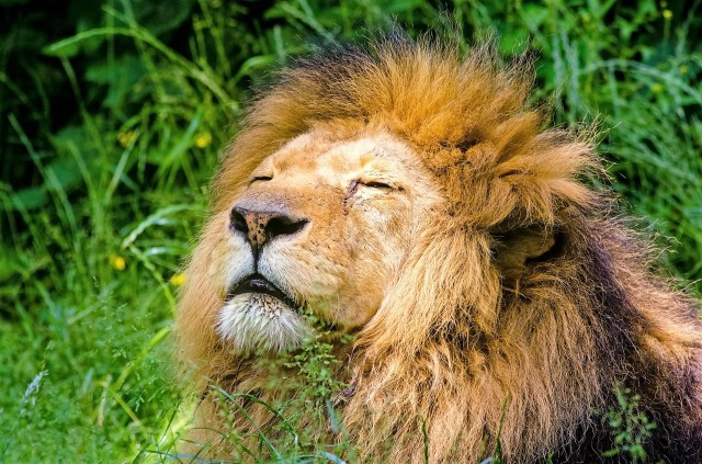 african-lion-951778_1920 (2)