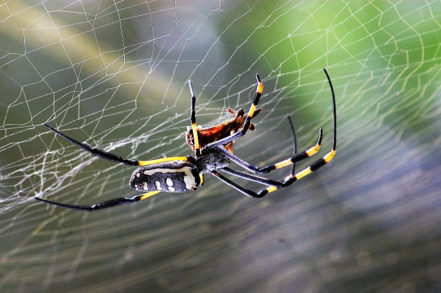 golden-orb-spider-281142_1920 (2)
