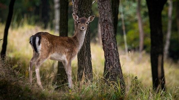 deer-984576__340