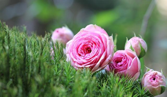 rose-1687547_1920